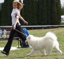 Samoyed ATHENA´S  MAGIC  CARPATHIAN  WHITE  SMILE