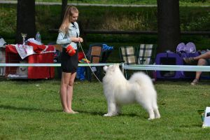 Samojed Blaze of Glory  Carpathian white smile