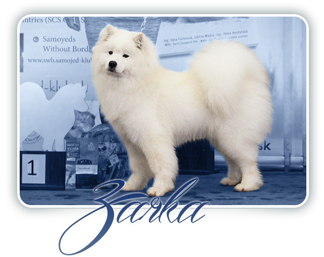 Samojed Desert Rose  CARPATHIAN  WHITE  SMILE