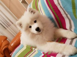 Samojed Ginger Boy Carpathian White Smile