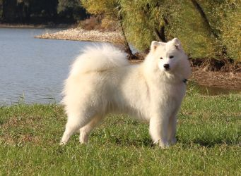 Samoyed Glamorous Miracle Carpathian White Smile