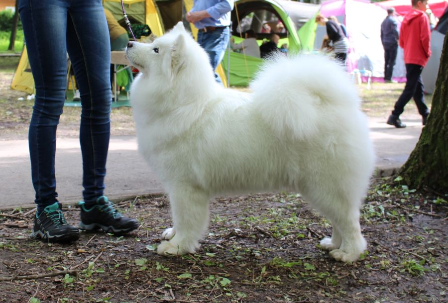 Samojed Radost Zhizni  Incredible  Heart Breaker