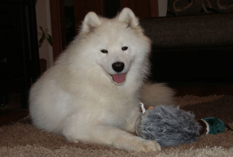 Samojed SMILING SNOWBALL PURE CRYSTAL