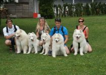 Samojed Carpathian White Smile