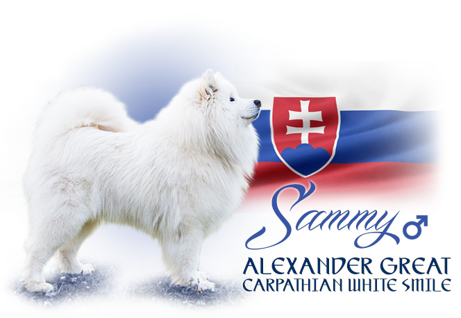 Samoyed Alexander Great Carpathian white smile