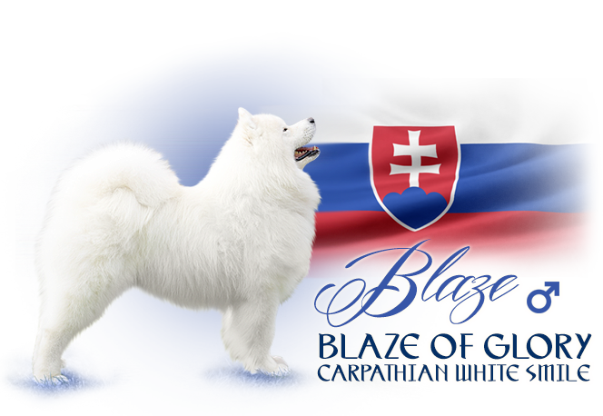 Samoyed Blaze of Glory Carpathian white smile