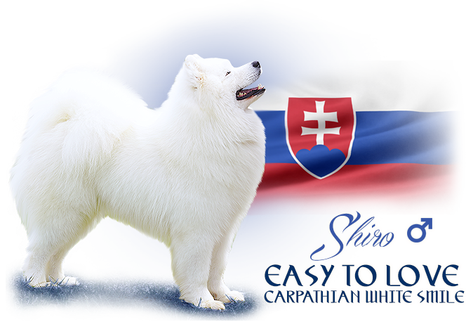 Samoyed Easy To Love Carpathian white smile