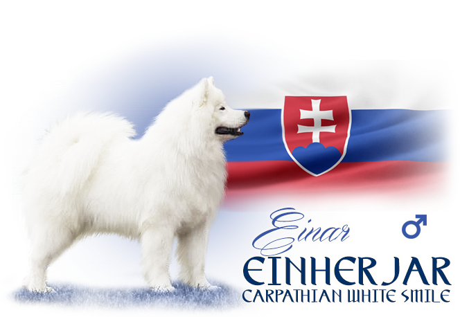 Samoyed Einherjar Carpathian white smile