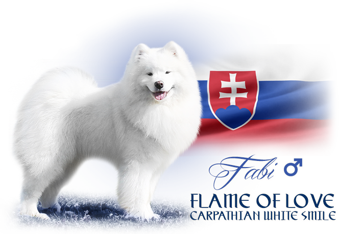 Samoyed Flame of Love Carpathian white smile
