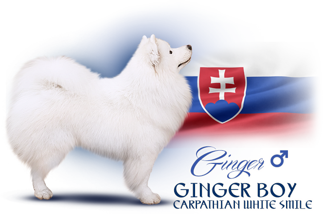 Samoyed Ginger Boy Carpathian white smile